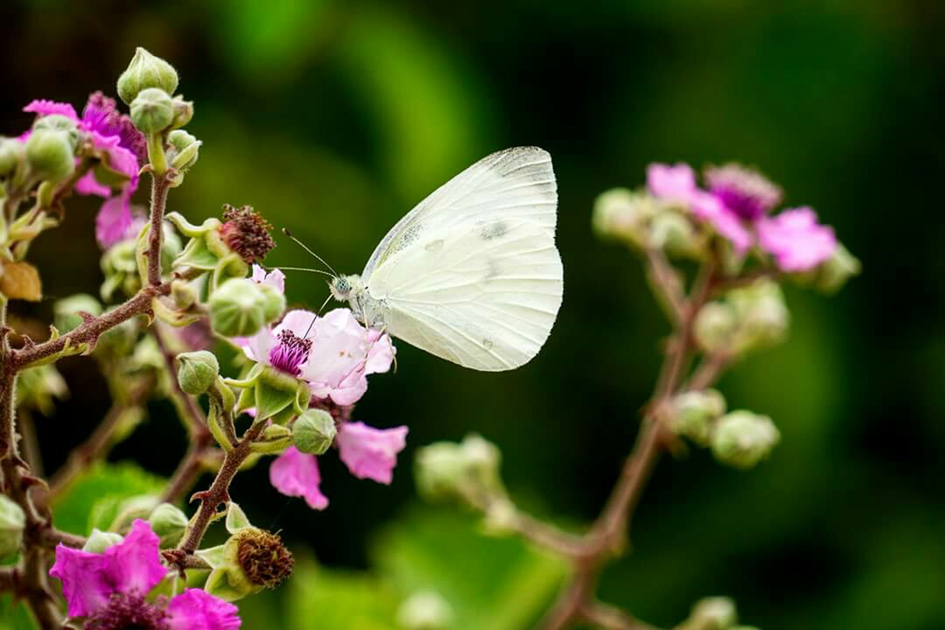 flower, one animal, animals in the wild, insect, animal themes, wildlife, fragility, freshness, growth, beauty in nature, focus on foreground, pollination, butterfly - insect, close-up, butterfly, nature, petal, plant, flower head, pink color