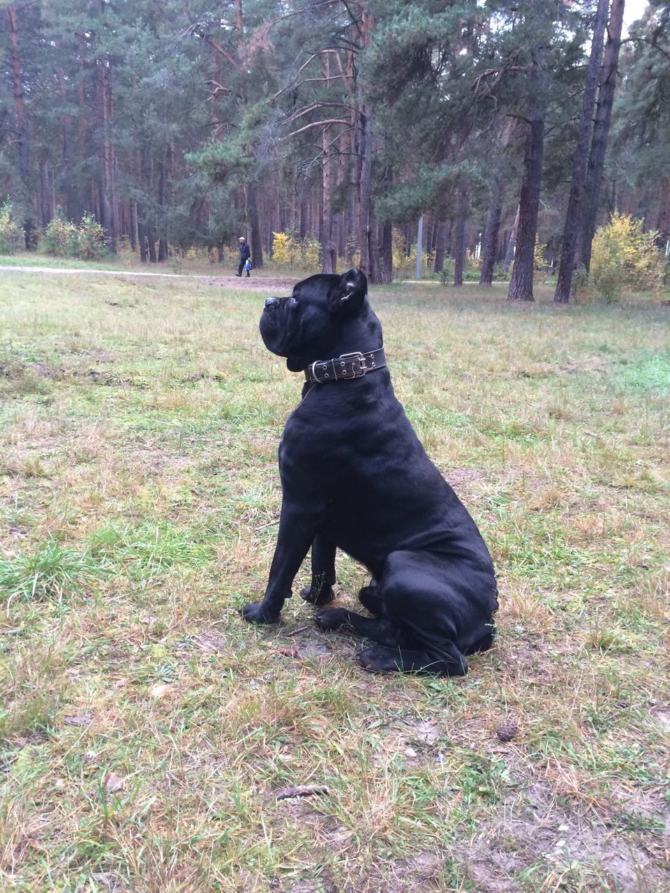 Cane Corso Sitting On Field