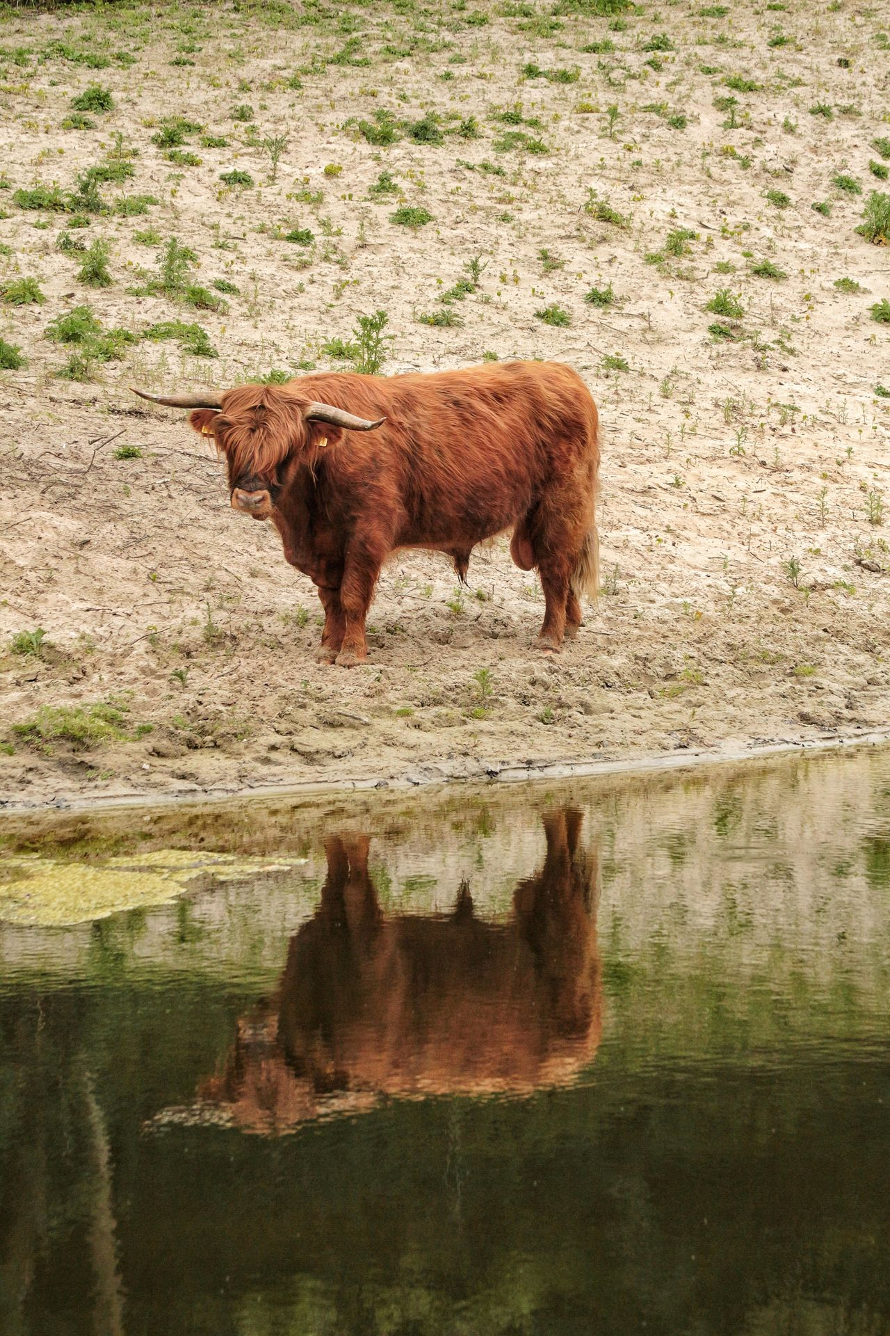 Water Mammal Domestic Animals Cow Steer Bull Farm Life Highland Cattle Animal Themes Brown One Animal Grass Livestock No People Outdoors Nature Day Stream - Flowing Water