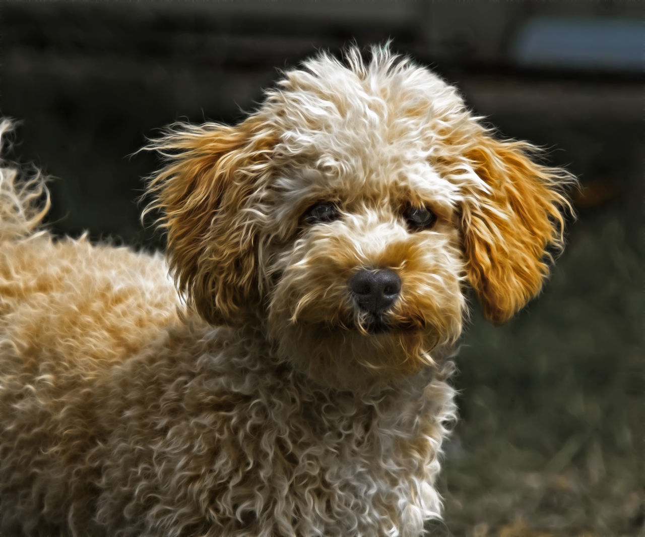 My Cavapoo puppy Barney. Animal Animal Hair Animal Themes Brown Comfortable Curiosity Cute Dog Domestic Animals Home Indoors  Looking At Camera Mammal No People One Animal Pets Portrait Relaxation Selective Focus Softness Zoology Dog Groomer Dog Food
