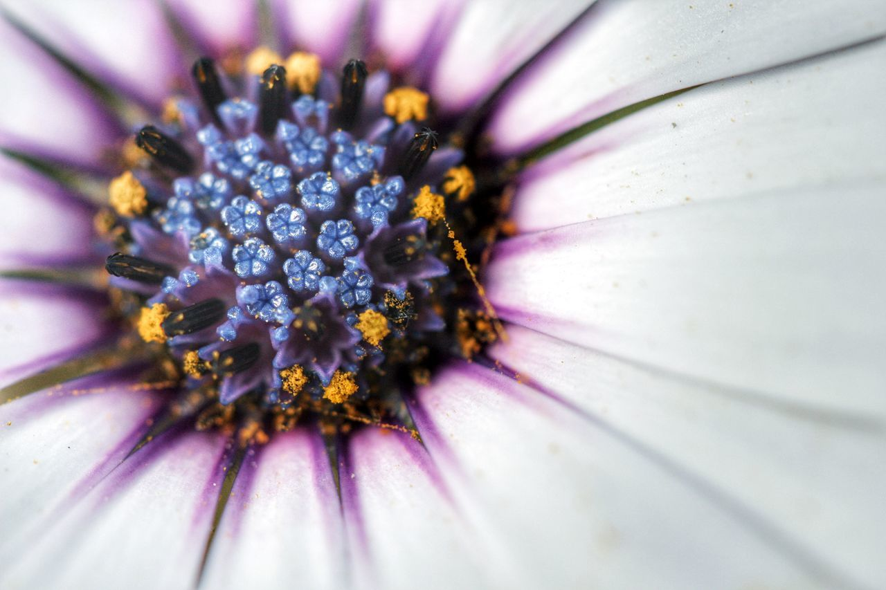 Beauty In Nature Botany Close Up Of A Daisy Close-up Daisy Daisy Close Up Daisy Flower Daisy Flower Head Daisy Head Close Up Daisy Head Macro Flower Flower Head Fragility Freshness Full Frame Growth In Bloom Macro Petal Pollen Purple Selective Focus Stamen Yellow Pollen Yellow Pollens