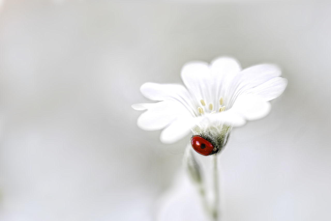 Beautiful Beauty In Nature Flower Ladybug Macro Nature Nature Photography Nyckelpiga