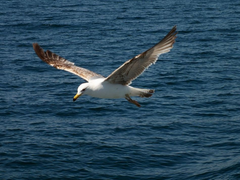 Seagull flying over water Fly Flybird Flying Bird Flyingbird Overwater Sea Seagull SEAGULL IN FLIGHT Seagulls And Sea Water Wings Wings Of Freedom Wingsspread