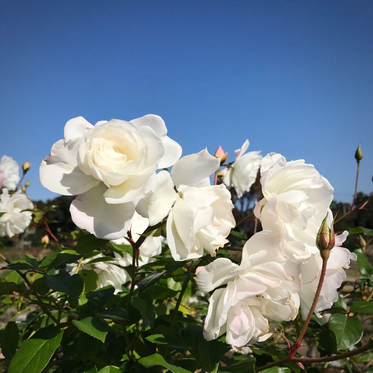 Roses Autumn Gunma