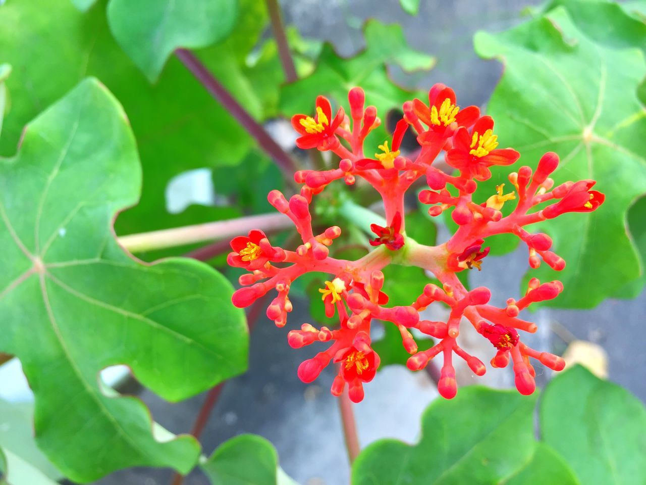growth, leaf, plant, beauty in nature, nature, red, petal, flower, freshness, green color, fragility, ixora, no people, blooming, flower head, day, outdoors, close-up