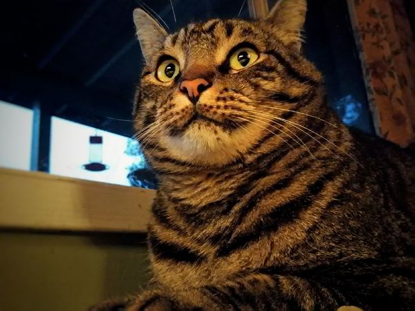 Pets Domestic Animals Feline Cats Cat Lovers Catoftheday Cats Of EyeEm Catting Around Alert Alert Cat Cat Eyes House Cats Favorite Pet Animal Themes Stripped Cat Popular