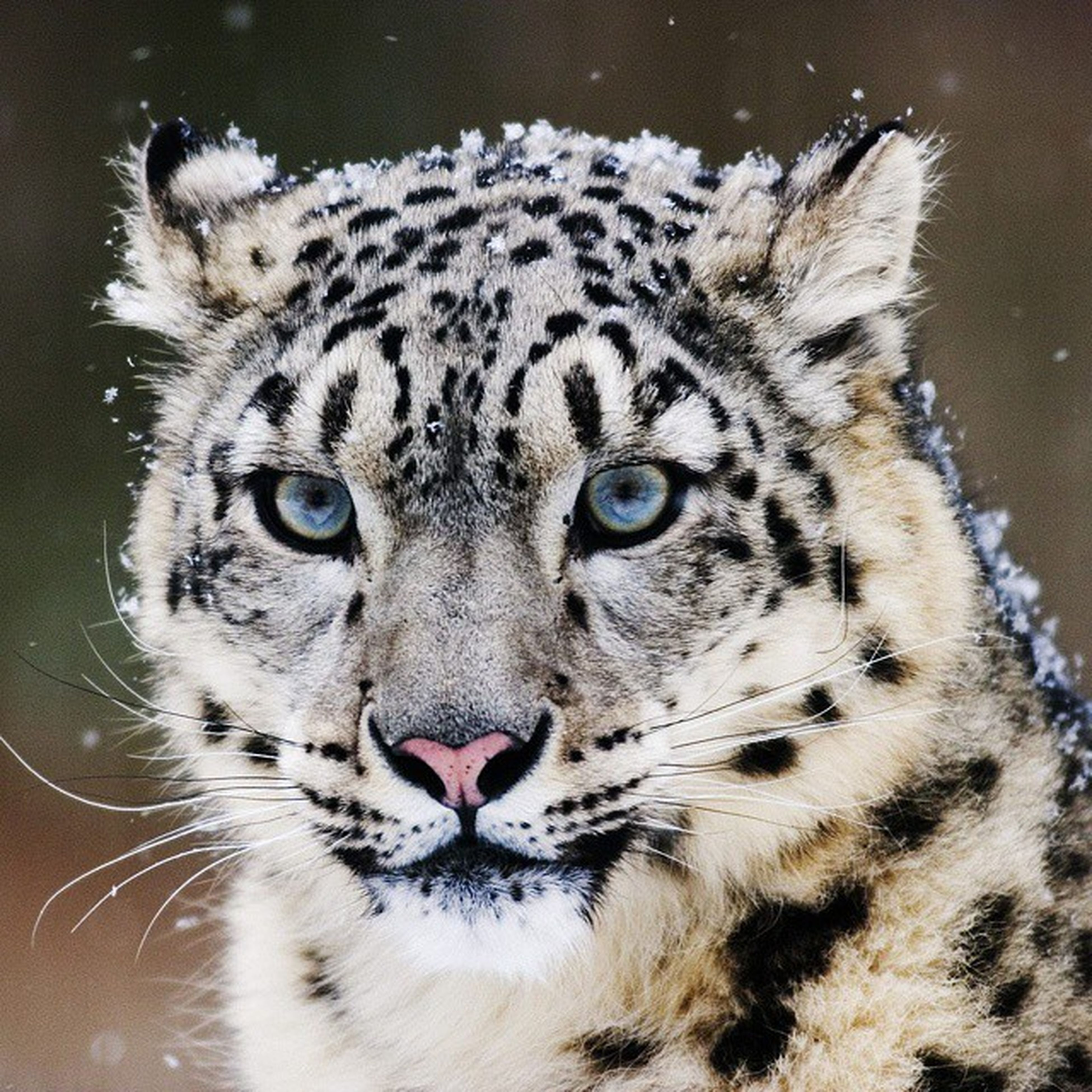 animal themes, one animal, animals in the wild, animal markings, wildlife, animal head, mammal, close-up, portrait, animal body part, tiger, safari animals, whisker, looking at camera, focus on foreground, endangered species, big cat, natural pattern, zoo, zoology