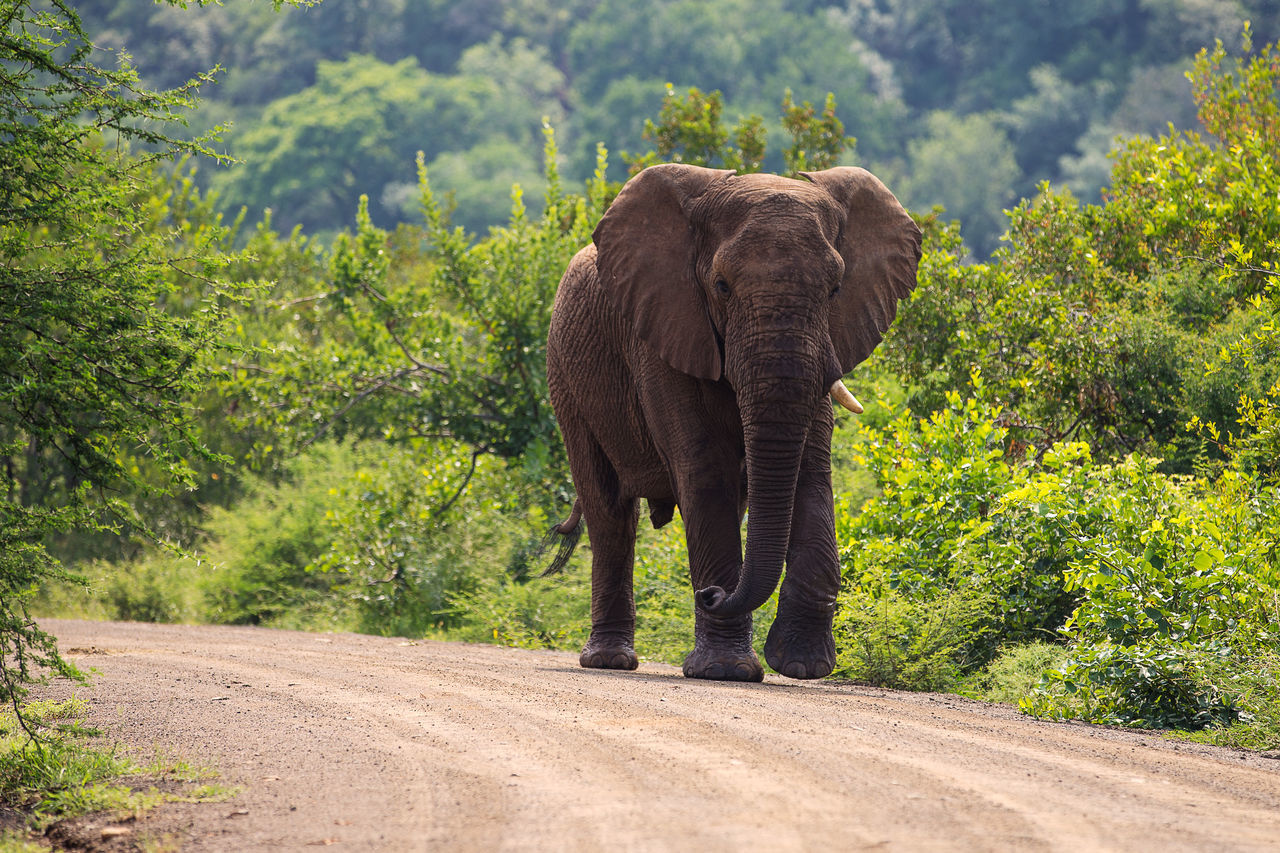 Long and lonely road African Elephant Animal Animal Themes Animal Trunk Animal Wildlife Animals In The Wild Day Elephant Forest Full Length Mammal Nature No People One Animal Outdoors Plant Road Safari Animals Standing Tree Tusk Wilderness Area