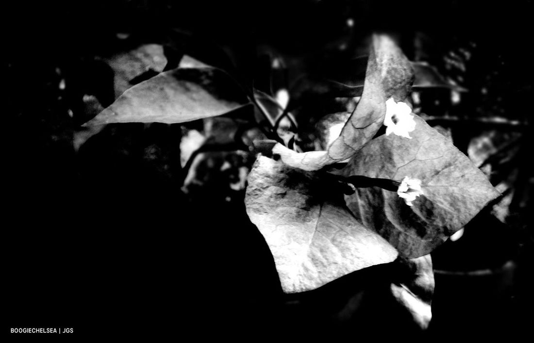 """""""Bougainvillea Flower"""" Beauty In Nature Blackandwhite Blackandwhitephotography Bnw_photography Bnw_captures Bnw_collection Bnw_magazine Bnw_maniac Bnw_planet Bnw_society Bnw_worldwide Bnwphotography Close-up EyeEm Nature Lover Floral Flower Photography Fujifeed Fujifilm Fujiholics Fujixphotographer Nature Nature Nature Photography No People Outdoors"""