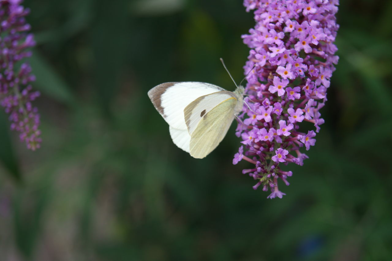 Animal Themes Animal Wildlife Animals In The Wild Beauty In Nature Blooming Butterfly - Insect Close-up Day Flower Flower Head Focus On Foreground Fragility Freshness Growth Insect Nature No People One Animal Outdoors Plant Purple White