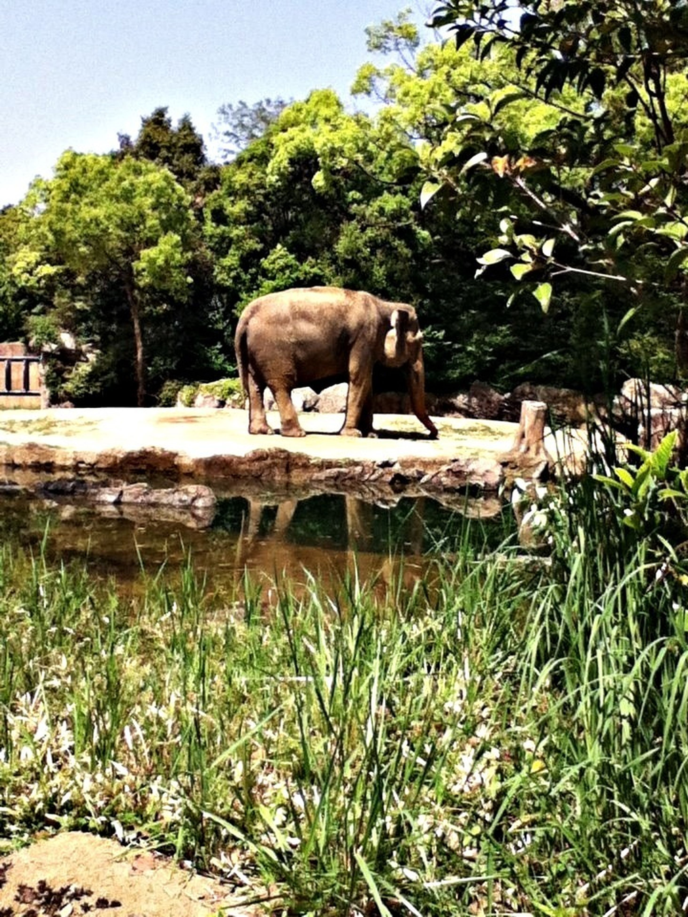 animal themes, mammal, tree, grass, animals in the wild, domestic animals, livestock, field, wildlife, one animal, standing, herbivorous, grazing, full length, nature, side view, green color, two animals, zoology, elephant