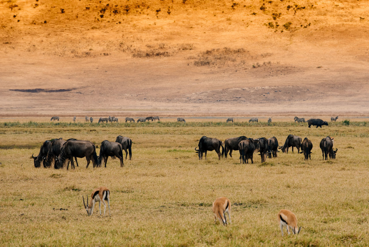 Animal Themes Animal Wildlife Animals In The Wild Arusha Day Horizontal Landscape Large Group Of Animals Mammal Nature Ngorongoro Ngorongoro Crater No People Outdoors Safari Safari Animals Serengeti Serengeti National Park Tanzania Wildlife