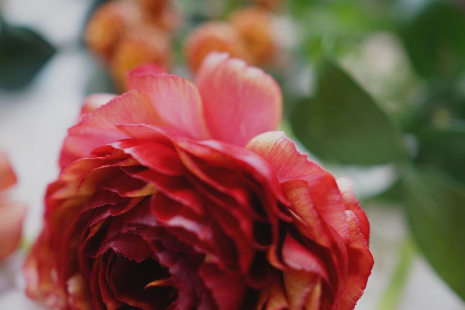 EyeEm Gallery EyeEm Best Shots Flower Flowers Flowerporn Flower Collection Persian Buttercup Ranunculus By The Window
