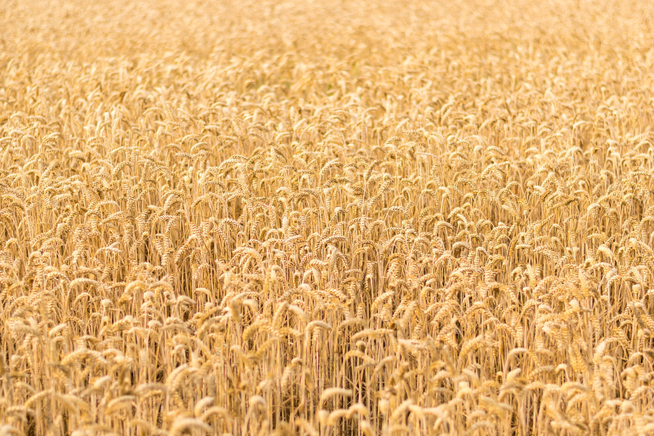 A field of golden wheat ready for the harvest on a sunny day Agriculture Cereal Cereal Plant Corn Countryside Crop  Cultivated Ear Of Wheat Farm Field Gold Colored Golden Growth Growth Harvest Nature Nature No People Rural Rural Scene Subsidisation Summer Wheat Field Yellow