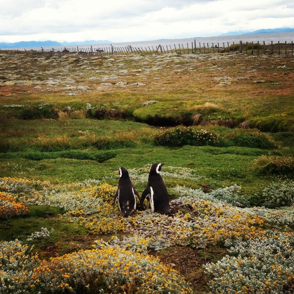 Beautiful stock photos of penguin, Animal, Animal Themes, Clouds, Environment