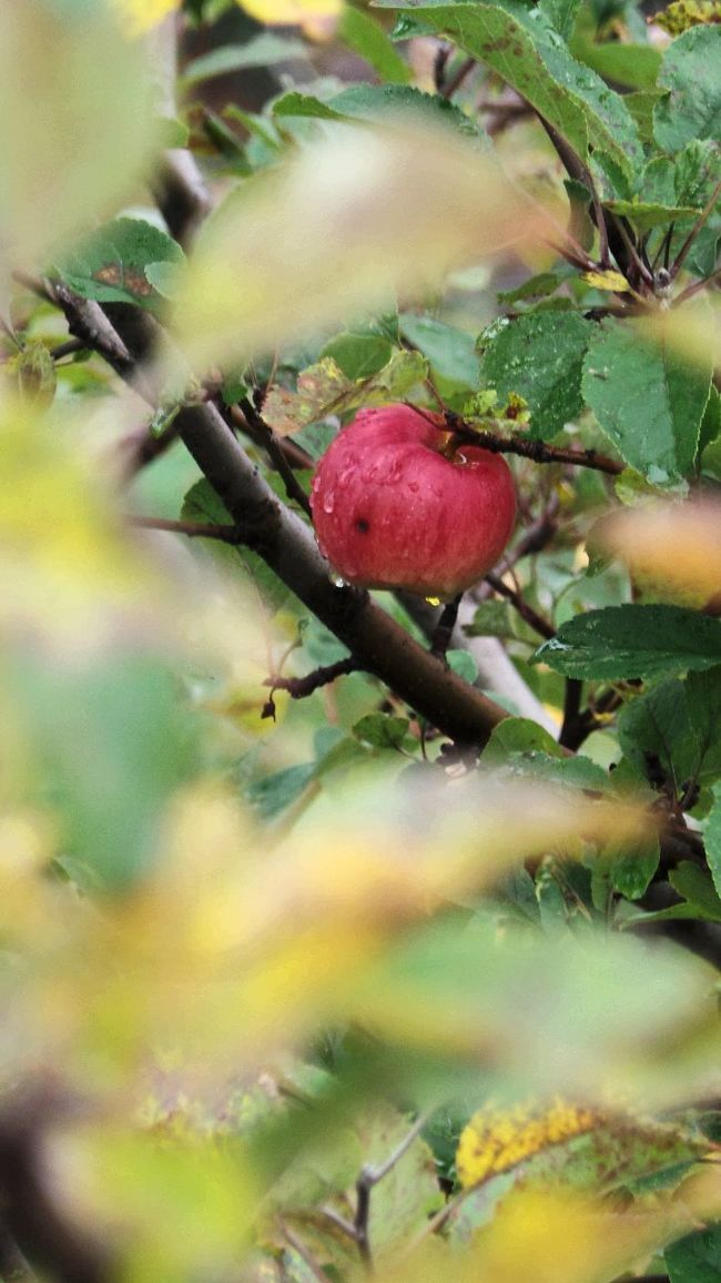 Apple Tree Apple Apfelbaum  Apfel Check This Out Hanging Out Autumn 2016 Fall Days Herbst In Seinen Schönsten Farben Nature Photography