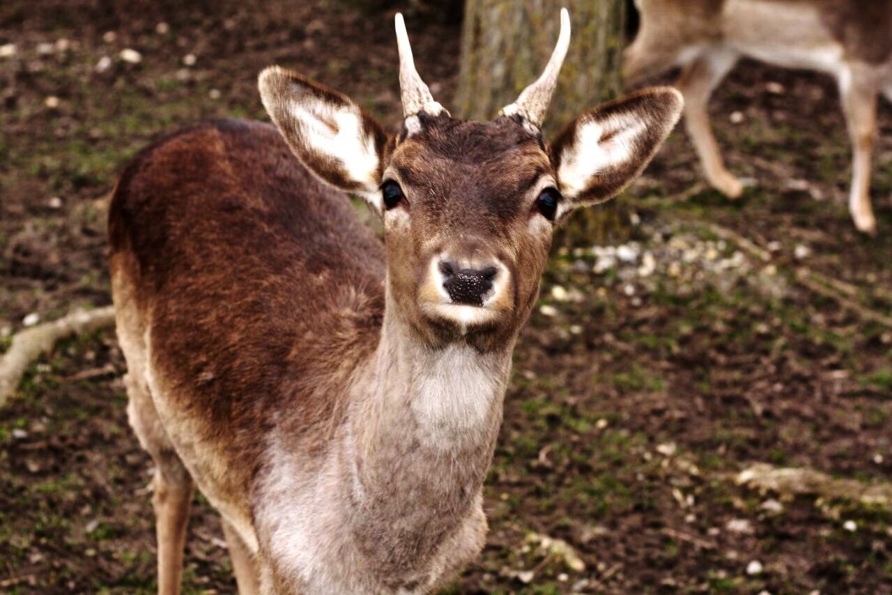 Beautiful stock photos of deer, Alertness, Animal Themes, Animals In The Wild, Day