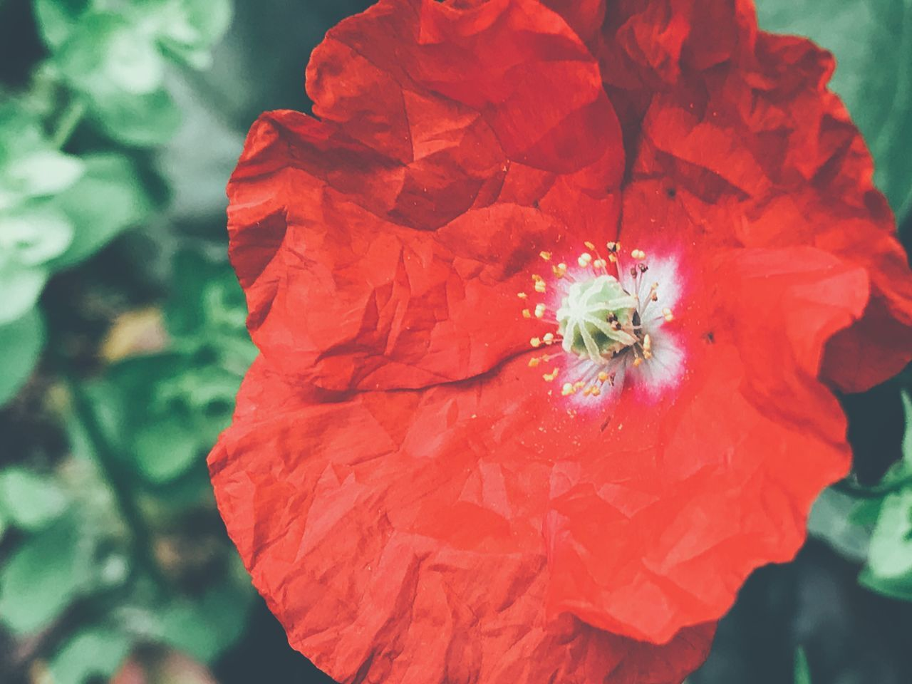 Flower Petal Flower Head Fragility Freshness Beauty In Nature Nature Growth Plant Close-up Day Blooming Outdoors Stamen No People Pollen Springtime Red Color Backgrounds Poppy Flower Beauty In Nature Poppy Poppy Flowers Red Flower Nature