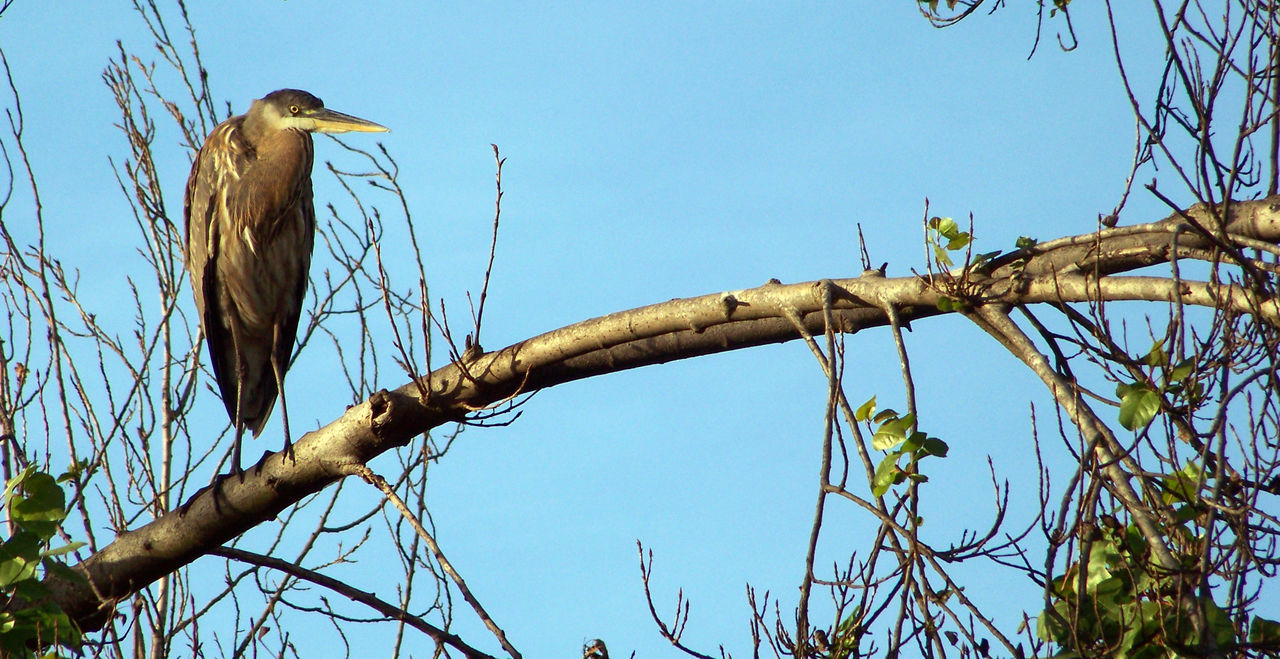 Blue Heron Perching On Branch Against Clear Blue Sky
