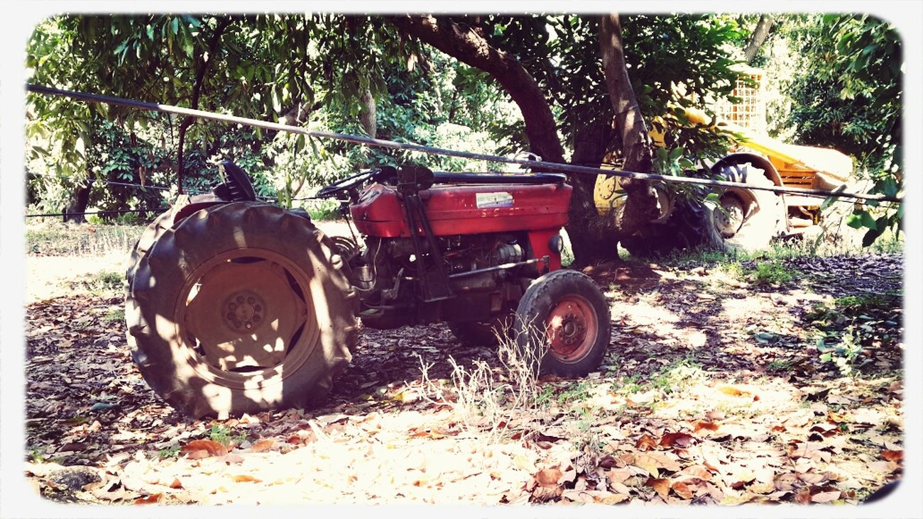 Old Tractors Between the Trees