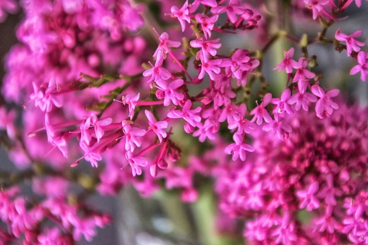 growth, flower, fragility, plant, beauty in nature, no people, nature, pink color, close-up, focus on foreground, outdoors, day, freshness, lilac, blooming, flower head