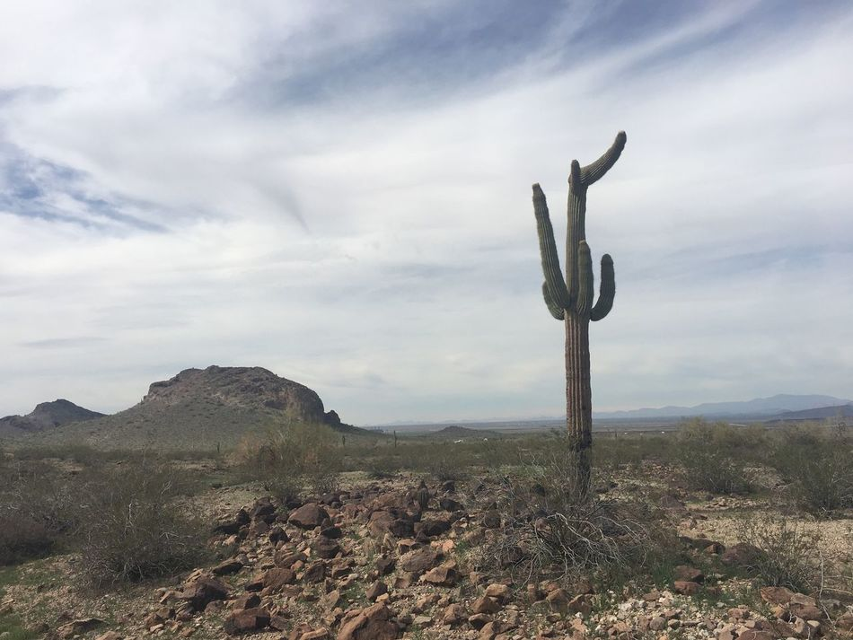 Saguaro cactus at Saddle Mountain in Arizona Nature Tranquility Tranquil Scene Landscape Scenics Beauty In Nature Sky Growth Non-urban Scene Outdoors Day Cactus No People Rural Scene Desert Arizona Desert Arizona Desert Life Arizona Plant Life Plant Growth Saguaro Cactus