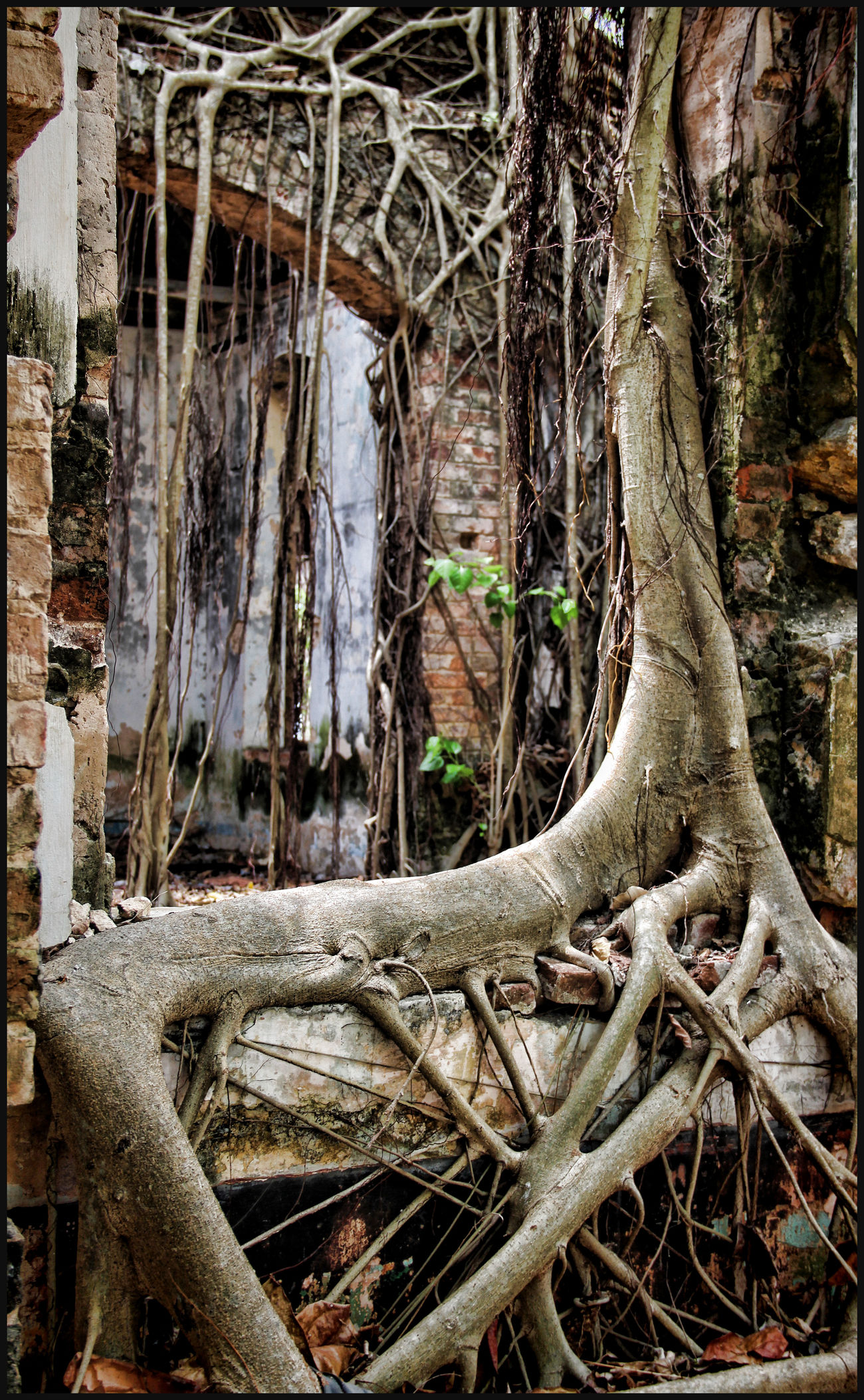 Abandoned House Beauty In Nature Branch Nature Root Run-down Tranquility Tree Trunk Vietnam Travel Wall - Building Feature
