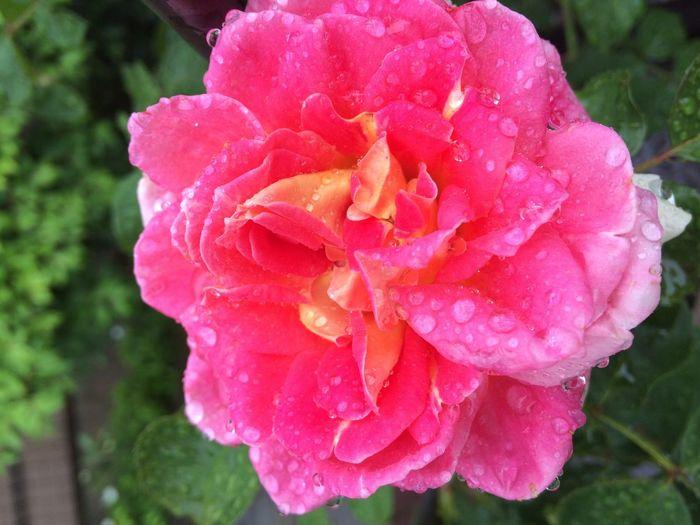 Hello World Mygarden Greatnature Rose🌹 Meilland International Meilland France 1993 Romantic Pink Flower Cesar Nature_collection