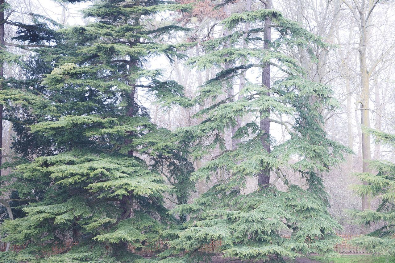 tree, forest, pine tree, no people, landscape, nature, holiday, outdoors, day