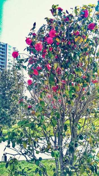 Look around..how beautiful things you will discover.. Taking Photos Enjoying Life Hanging Out Baku♡♥ Rose🌹 Eyeemflowersofspring Flowrrs And Plants By Me ♡♡ That's Me EyeEm Nature Lover EyeEem