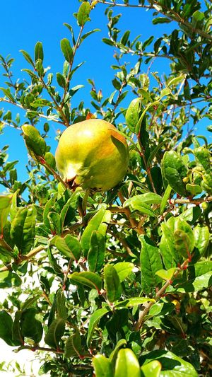 Tree Fruit Growth Nature Green Color Sky Outdoors Walking Around Pomegranate Fruit PomegranateTree Pomegrante  Santorini, Greece