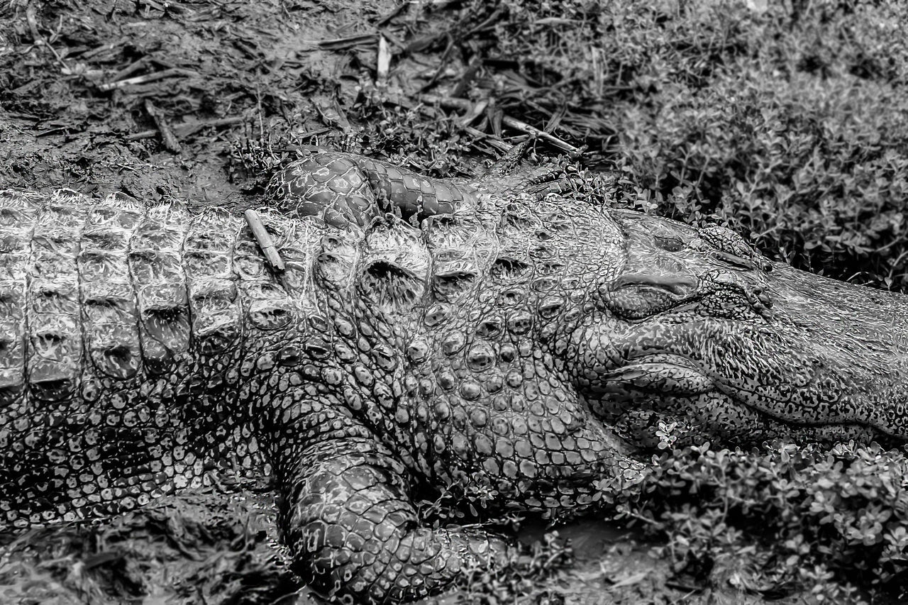 Black And White No People Wild Beautiful Dangerous Animal Sharp Close-up Alligator Alligators Beauty In Nature Eye Em Nature Lover The Great Outdoors - 2016 EyeEm Awards The Great Outdoors With Adobe Monochrome Photography Maximum Closeness Miles Away