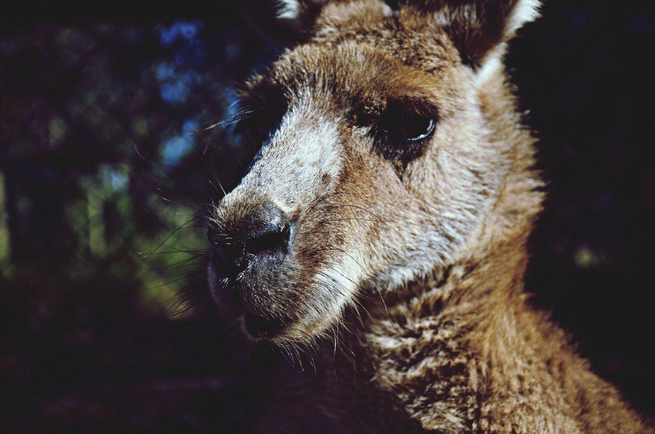 Beautiful stock photos of kangaroo, Animal Body Part, Animal Head, Animal Themes, Animals In The Wild