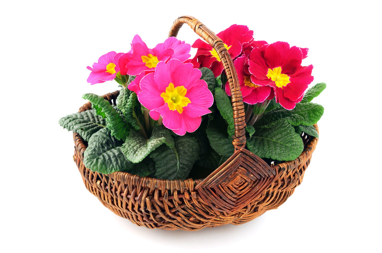 pink primula flower in basket on white isolated background. Basket Gardening Isolated Isolated On White Isolated White Background Pink Pink Flower Potted Plant Primrose Primroses Primula Primulas Yellow