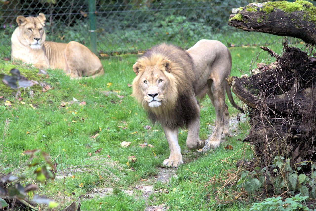animals in the wild, animal themes, lion - feline, animal wildlife, mammal, day, grass, lioness, outdoors, safari animals, no people, lion cub, nature