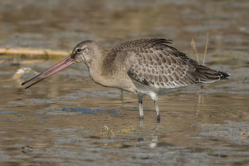 Black-tailed Godwit One Animal Bird Animal Wildlife Side View Nature Birds🐦⛅ Feather  Feather  Bird Photos Outdoors Waterfowl Beak Beauty In Nature Animals In The Wild No People Feather