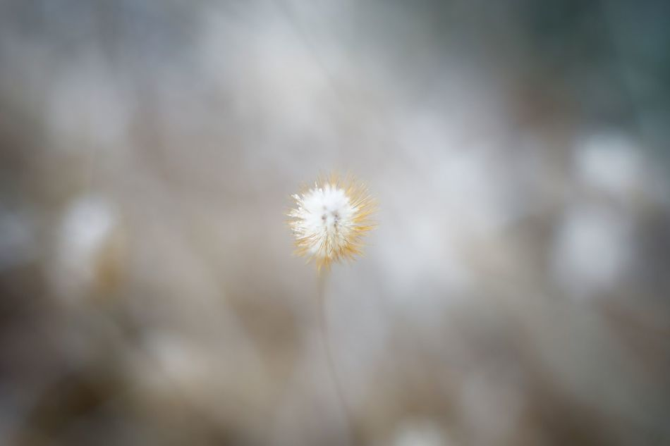 Capture The Moment Depth Of Field Foxtail Snow Macro Fantasy Fragility Beauty In Nature Nature Close-up Macro Domannaka Fine Art Tranquil Scene Still Life Bokeh Depth Of Focus Landscapes Winter Full Frame Detail Oldlens Zeiss Pancolar EyeEm Best Shots 17_01