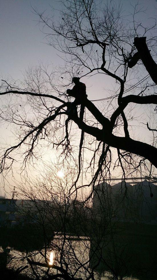 Tree Silhouette Baumpflege Seilklettertechnik Outdoors Flussufer Sunrise Baumklettern Workplace Working Man Working Working Hard Workers At Work Climber At Work EyeEm Best Shots