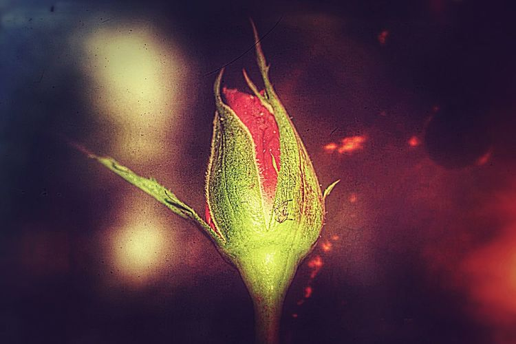 Flower Flower Head Rose🌹 Rose Bud Rose Button Colored Background Freshness No People Close-up Beauty In Nature Nature Day Beauty In Nature Nature Fragility
