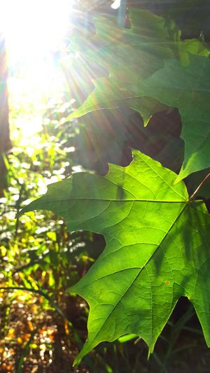 Green Trees And Leaves Leaf And Sunlight Check This Out Michigan EyeEm Nature Lover Trees #leaves #sunlight #warm Color Natural Light Portrait