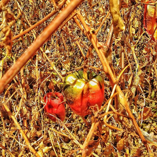 Fruit Food And Drink Field Day Red Food High Angle View Outdoors No People Growth Nature Healthy Eating Close-up Grass Animal Themes Freshness Drying Agriculture Beauty In Nature Field Red Pepper Pepper