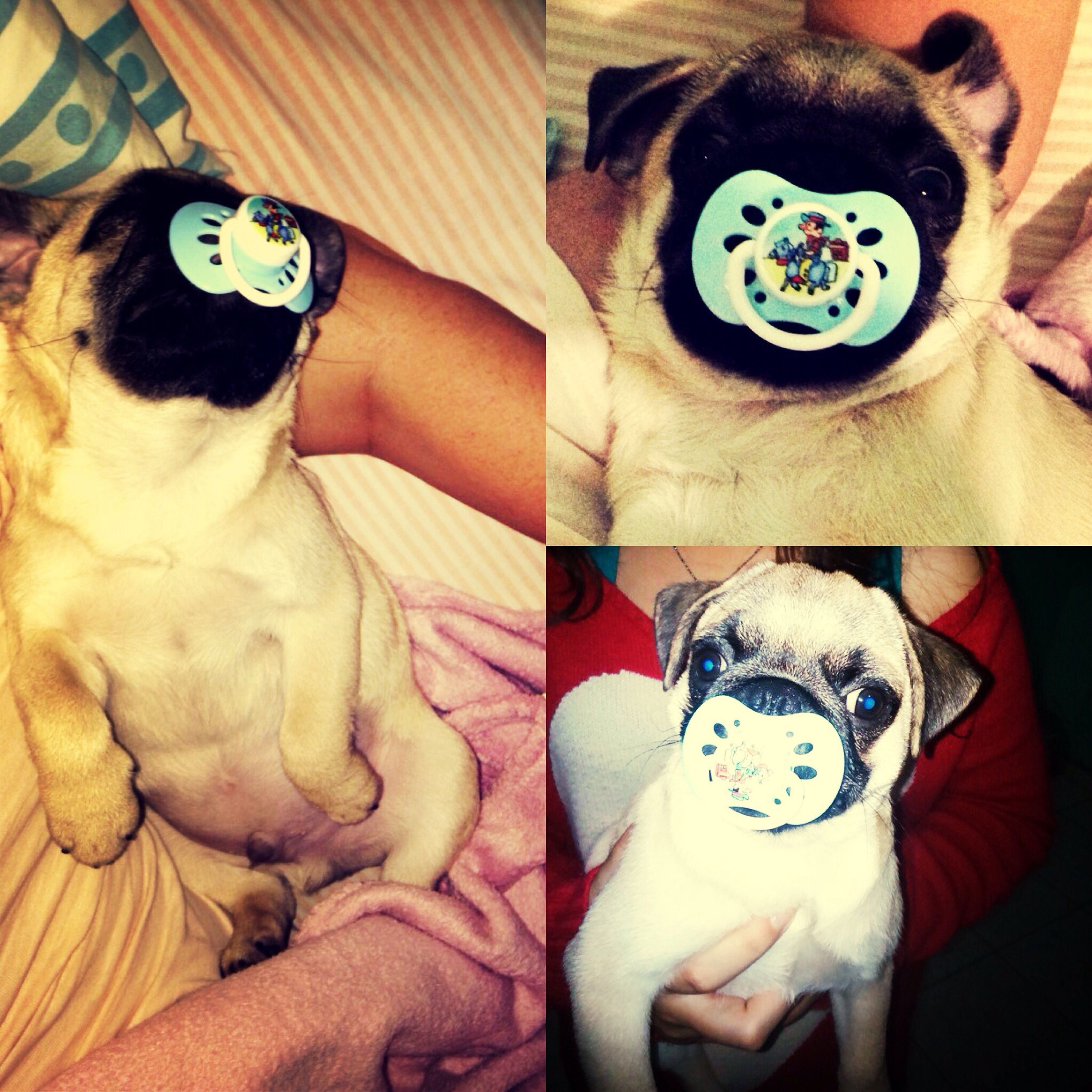 Oh My God <3<3<3 I Love You My Pug. Awww So Cute <3 ????