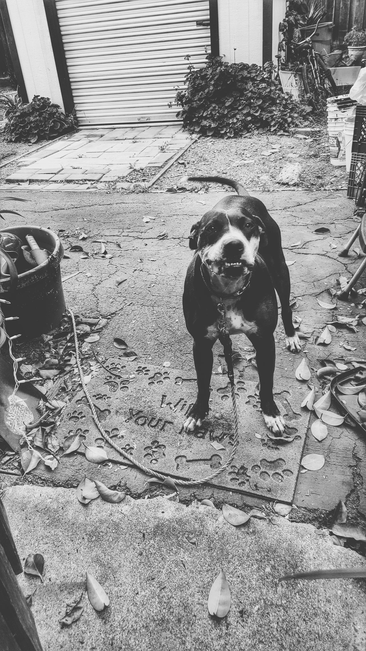 Pitbull Lover Pitbulllover Pitbull♥ Pitbull Love Pitbull Dog Love Dog Dogs Of EyeEm Animal Animal_collection Animal Photography Animal Themes High Contrast Bnw Junkyarddog