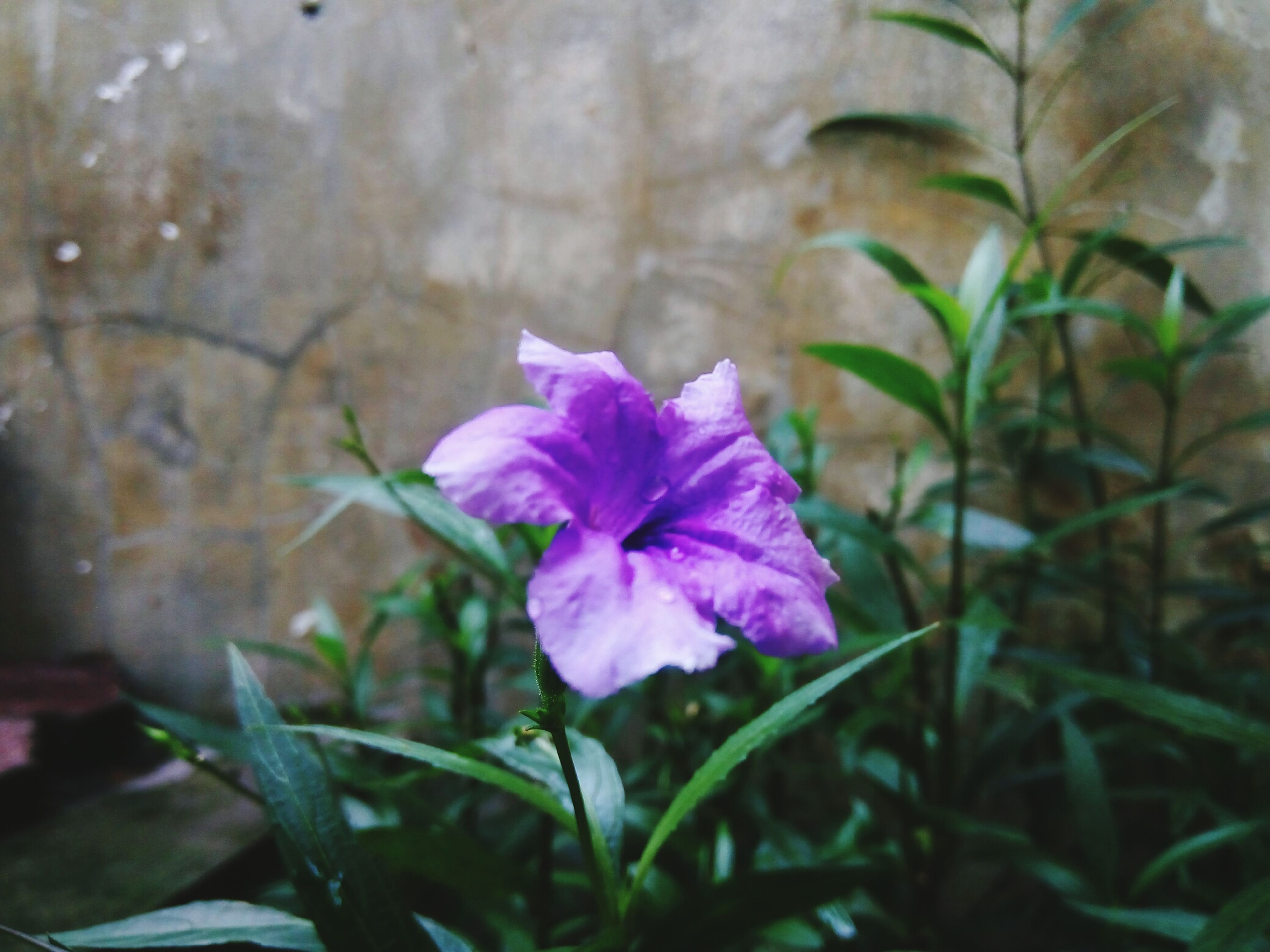 flower, petal, freshness, fragility, flower head, growth, beauty in nature, blooming, plant, close-up, purple, single flower, nature, pink color, focus on foreground, leaf, in bloom, stem, blossom, outdoors
