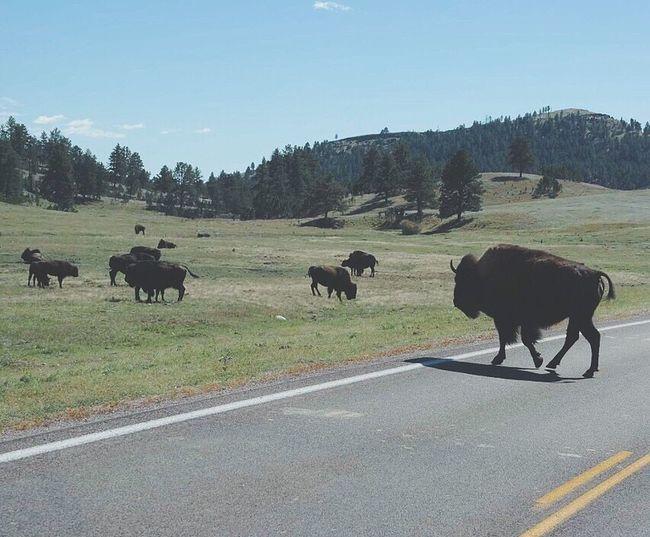 Buffalo Bison Wildlife Wildlife & Nature South Dakota Black Hills Landscape Mammal Animal Themes Clear Sky Outdoors Road Nature Zoology Animal