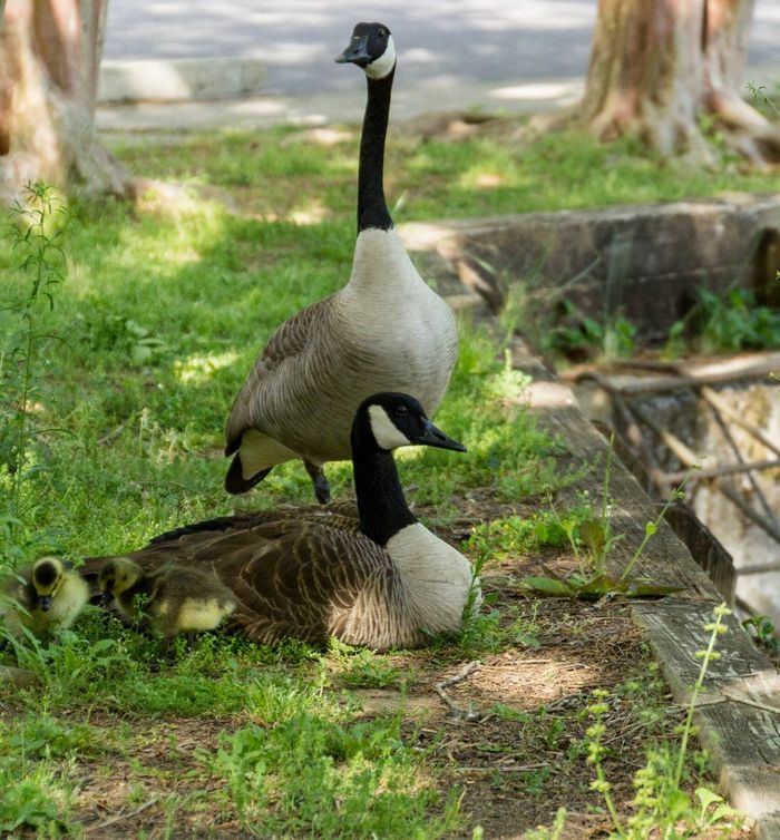 Ducks Bird Grass Animal Themes Animals In The Wild Goose Canada Goose Gosling Geese Animal Wildlife Field Outdoors Nature Young Bird No People Day Five Animals Togetherness Greylag Goose