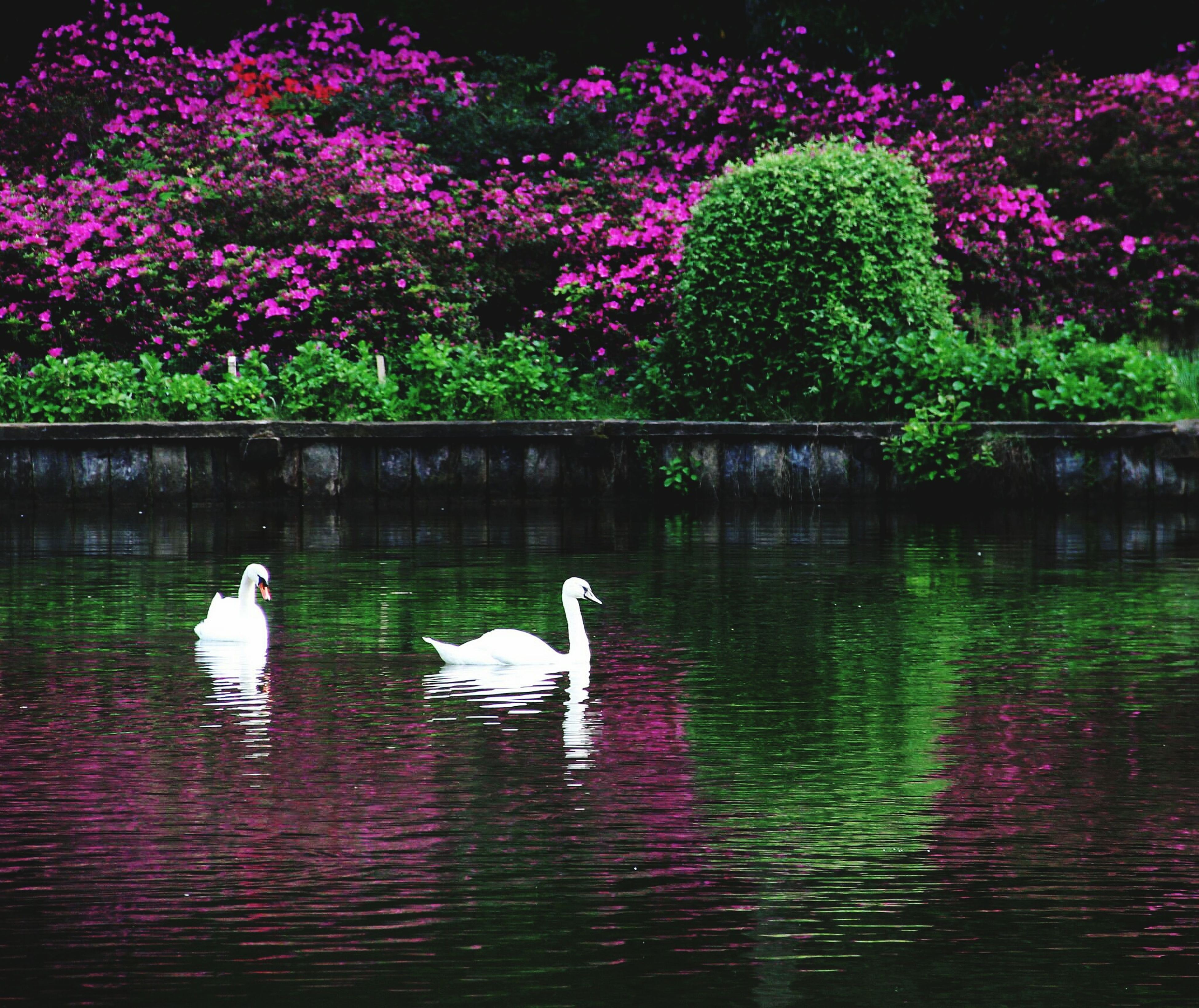 bird, animal themes, animals in the wild, wildlife, water, reflection, lake, swan, pond, flower, nature, waterfront, beauty in nature, swimming, floating on water, duck, growth, outdoors, tree, medium group of animals