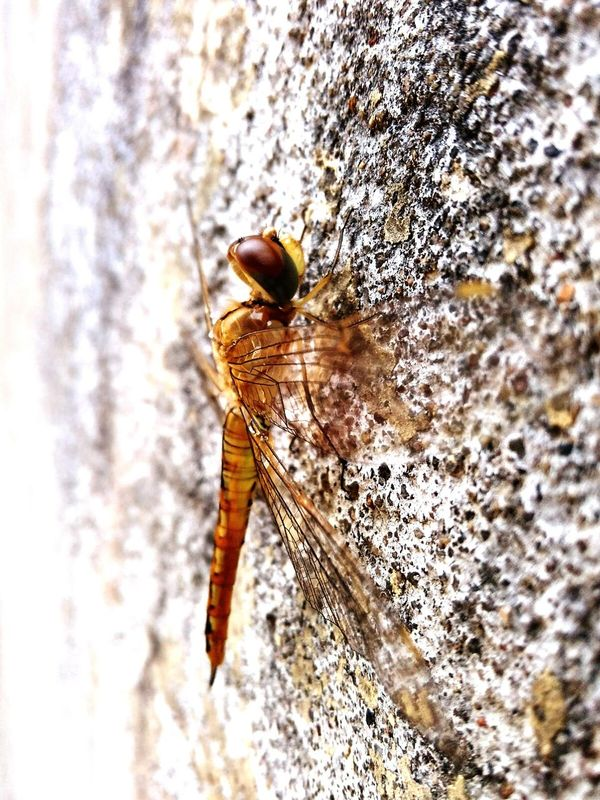 Dragonfly Yellowdragonfly Dragonfly_of_the_day Hanging At Wall Insects Macro MobilePhotograpy Edited On EyeEm Indian Dragonfly:)