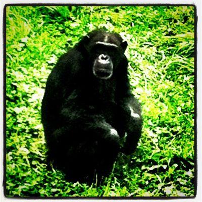 Monkey face! Monkey Animal Safari Quebec Parc Parcsafari Hemingford Chimpanze