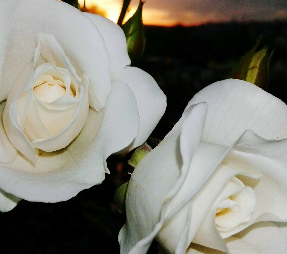 White Whiterose Altinpark Samsungphoto Eye4photography  Ankara/turkey Samsungphotography Ankara... Türkiye 💙💛 Flowers Flower Collection Sunset Altınpark Follow4follow ÇANKAYA 🐾🍂🍃🌿⛅ Flowerporn EyeEm Nature Lover Ankara Türkiye Eyemphotography EyeEm Best Shots Ankaradayasam Taking Photos Likeforfollow EyeEm Best Shots Walking Around Samsungphoto